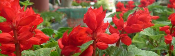 red bedding salvias